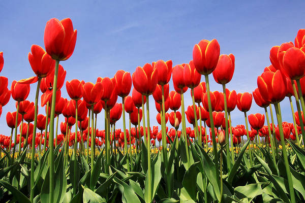 Tulips Art Print featuring the photograph Red Tulips by Kean Poh Chua