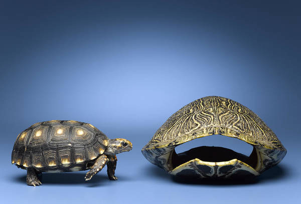 Horizontal Art Print featuring the photograph Turtle Looking At Larger, Empty Shell by Jeffrey Hamilton