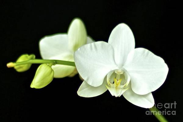 White Orchid Art Print featuring the photograph White Orchid by Mihaela Limberea