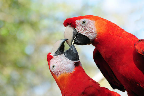 Bird Art Print featuring the photograph Macaws by Steven Sparks