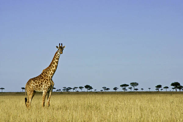 Africa Art Print featuring the photograph Majestic Giraffe by Michele Burgess