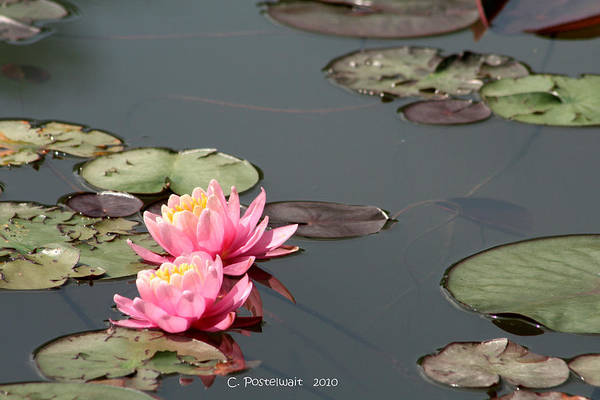 Ponds Art Print featuring the photograph Pond Lilies by Carolyn Postelwait