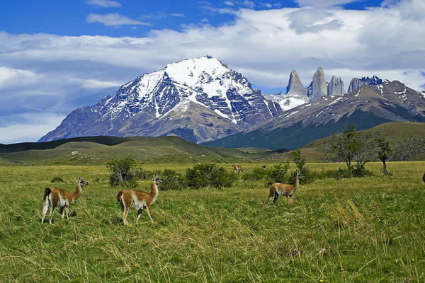 Patagonia Art Print featuring the photograph Guanacos in Torres del Paine by Michele Burgess