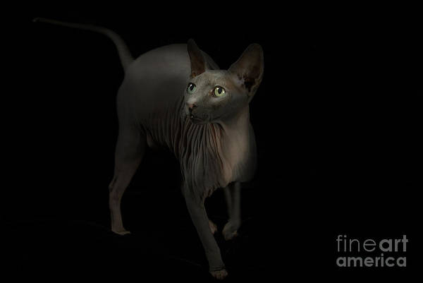 Hairless Cat Art Print featuring the photograph Sphynx Cat Portrait by Glenda Wright