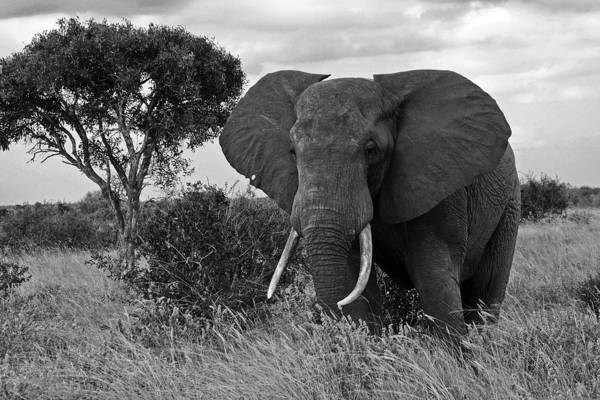 Africa Art Print featuring the photograph The Old Bull by Michele Burgess