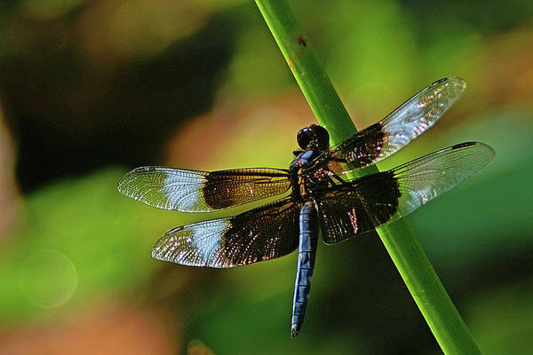 Dragonfly Art Print featuring the photograph Widow Skimmer by Bill Morgenstern