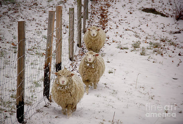 Sheep Art Print featuring the photograph 3 Happy Sheep by Diana Nault