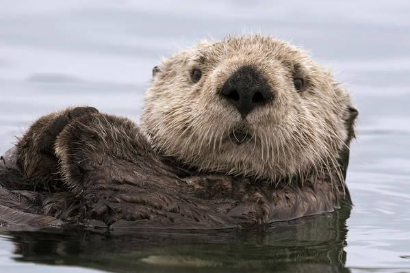 00429873 Art Print featuring the photograph Sea Otter Elkhorn Slough Monterey Bay by Sebastian Kennerknecht