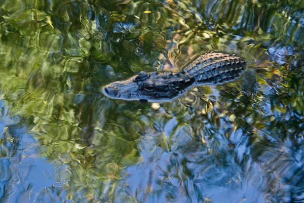Alligator Art Print featuring the photograph Alligator stalking by Douglas Barnett