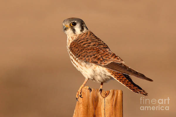 Kestrel Art Print featuring the photograph American Kestrel Surveying The Surroundings by Max Allen