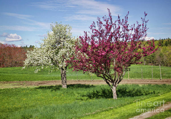 Spring Blooming Trees Art Print featuring the photograph Apple Trees by Diana Nault