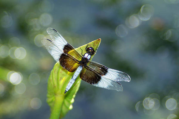 Dragonfly Art Print featuring the photograph Basking in the Light by Bill Morgenstern