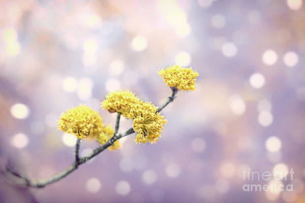 Kremsdorf Art Print featuring the photograph Blossom Melodies by Evelina Kremsdorf