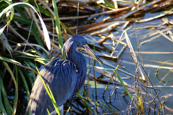 Wild Life Art Print featuring the photograph Blue Heron Thoughts by Florene Welebny