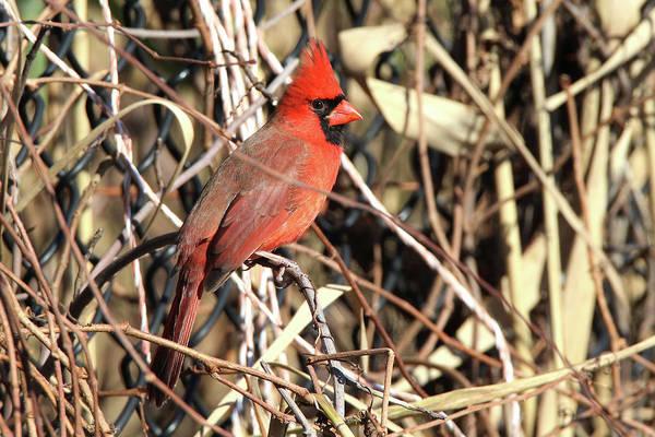 Cardinal Setauket New York by Bob Savage