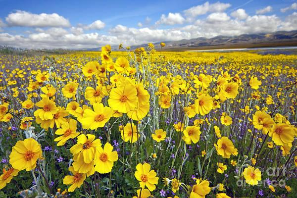 Wildflowers Art Print featuring the photograph Carrizo Plain Wildflowers by Chuck Brittenham