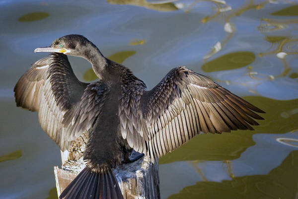 Neotropic Cormorant Art Print featuring the photograph Cormorant looking back by Robert Brown