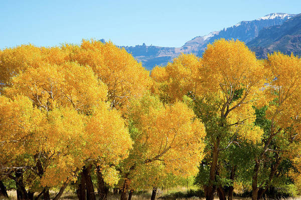Cody Art Print featuring the photograph Cottonwoods in All Their Glory by Frank Madia