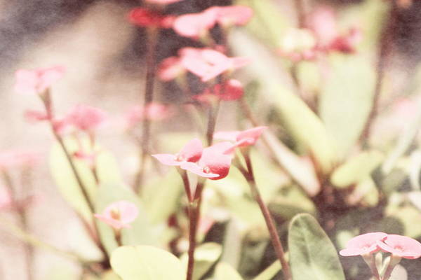 Prism Pink Art Print featuring the photograph Country Memories in Prism Pink by Colleen Cornelius