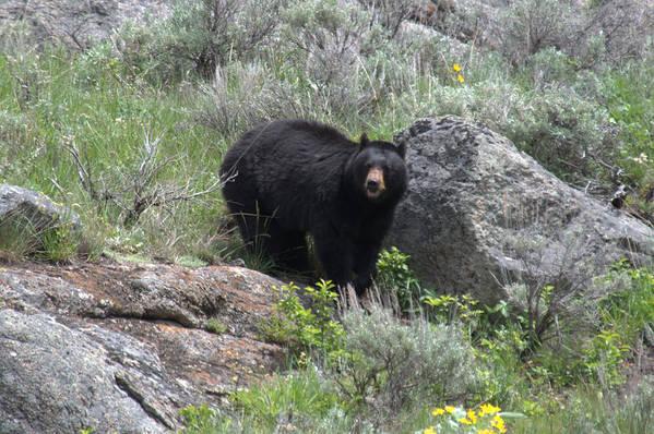 Black Bear Art Print featuring the photograph Curious Black Bear by Frank Madia