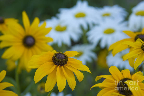 Daisy Art Print featuring the photograph Daisies by Idaho Scenic Images Linda Lantzy