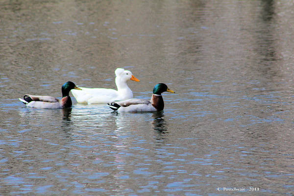 Ducks Art Print featuring the photograph Ducks on Pond by Carolyn Postelwait