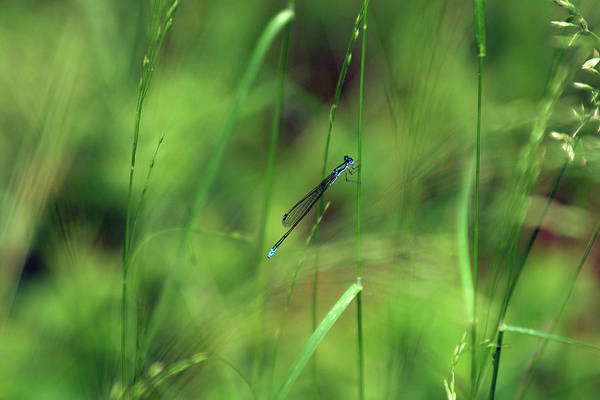 Damselfly Art Print featuring the photograph Eastern Forktail by Bill Morgenstern