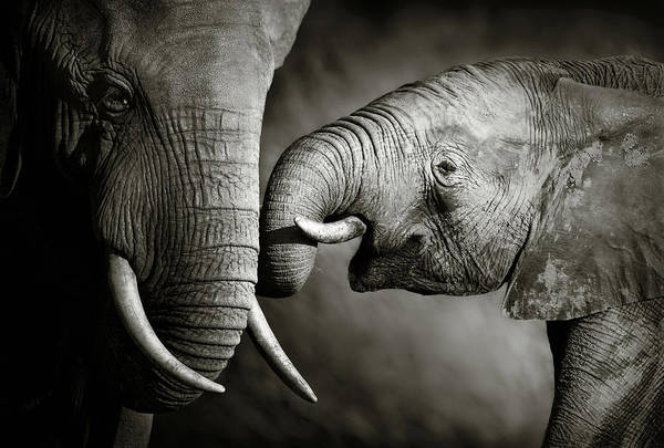 Elephant; Interact; Touch; Gently; Trunk; Young; Large; Small; Big; Tusk; Together; Togetherness; Passionate; Affectionate; Behavior; Art; Artistic; Black; White; B&w; Monochrome; Image; African; Animal; Wildlife; Wild; Mammal; Animal; Two; Moody; Outdoor; Nature; Africa; Nobody; Photograph; Addo; National; Park; Loxodonta; Africana; Muddy; Caring; Passion; Affection; Show; Display; Reach Art Print featuring the photograph Elephant affection by Johan Swanepoel
