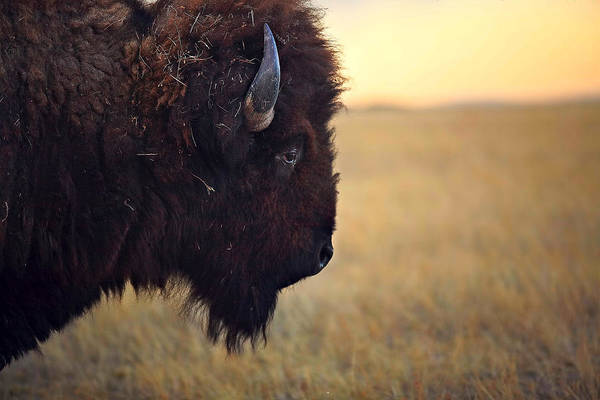 Buffalo Art Print featuring the photograph Face The Day by Deborah Johnson