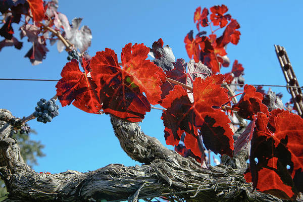 Winery Art Print featuring the photograph Fall Grapevines by Liz Santie