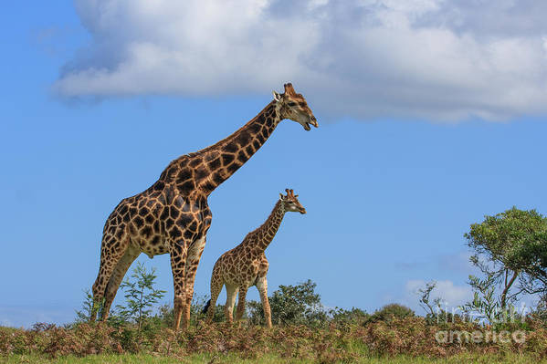 Giraffe Art Print featuring the photograph Father And Son Giraffe by Jennifer Ludlum