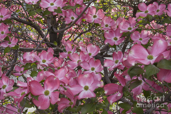 Dogwood Art Print featuring the photograph Full bloom by Idaho Scenic Images Linda Lantzy