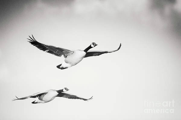 Geese In Flight Art Print featuring the photograph Geese in Flight by Michael McStamp