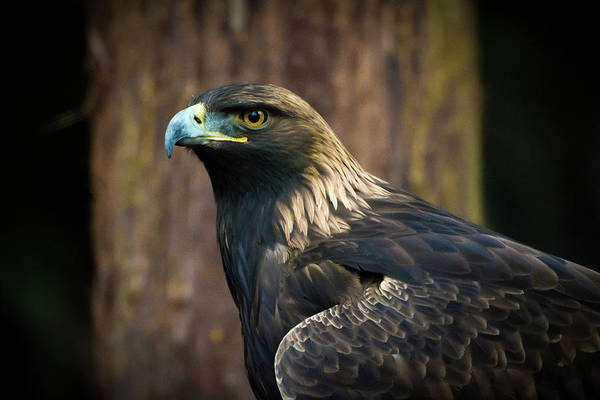 Eagle Art Print featuring the photograph Golden Eagle 5 by Jason Brooks