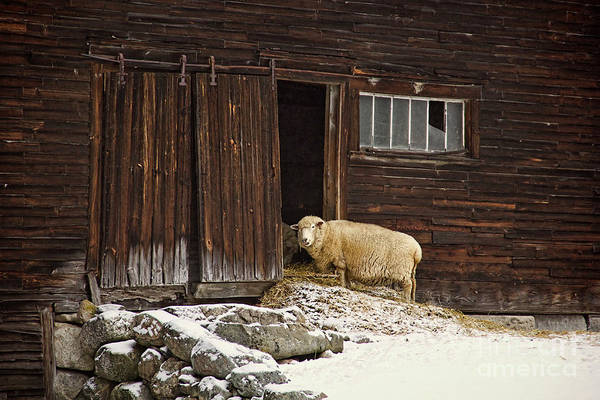 Sheep Art Print featuring the photograph Good Morning by Diana Nault