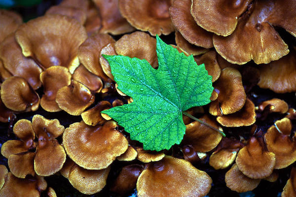 Nature Art Print featuring the photograph Green Leaf on Fungus by Carl Purcell