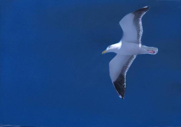 Gull Art Print featuring the painting Gull by Charles Parks