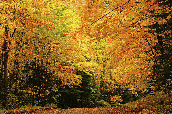 Minnesota Maples Art Print featuring the photograph Maple Blaze by Bill Morgenstern