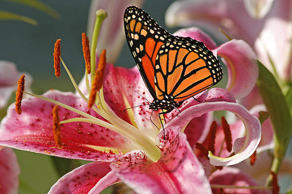 Cindi Ressler Art Print featuring the photograph Monarch on a Stargazer Lily by Cindi Ressler