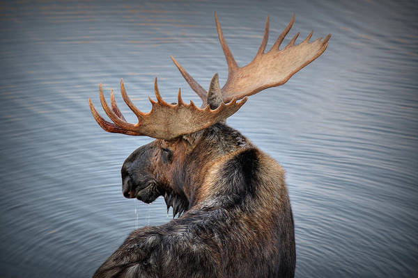 Moose Art Print featuring the photograph Moose Drool by Ryan Smith