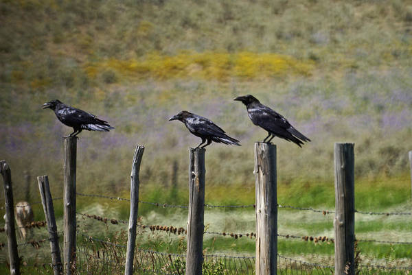 Crows Art Print featuring the photograph Neighborhood Watch Crows by Heather Coen