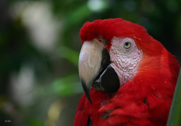 Bird Art Print featuring the photograph Old Red Parrot by Ruben Flanagan