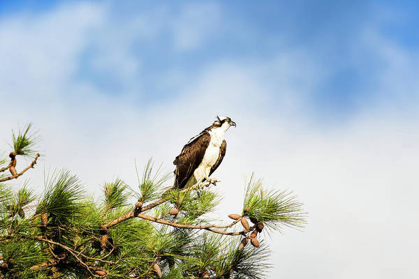 Osprey Art Print featuring the photograph On High by Michael McStamp