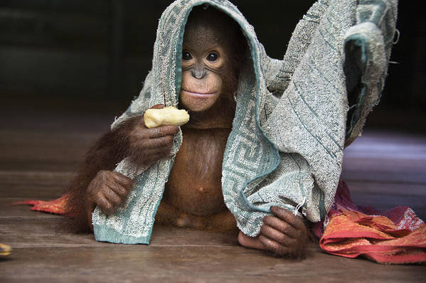 00486841 Art Print featuring the photograph Orangutan 2yr Old Infant Holding Banana by Suzi Eszterhas
