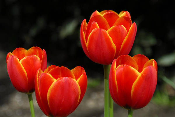 Tulips Art Print featuring the photograph Pacific Northwest Tulips 5 by Keith Gondron