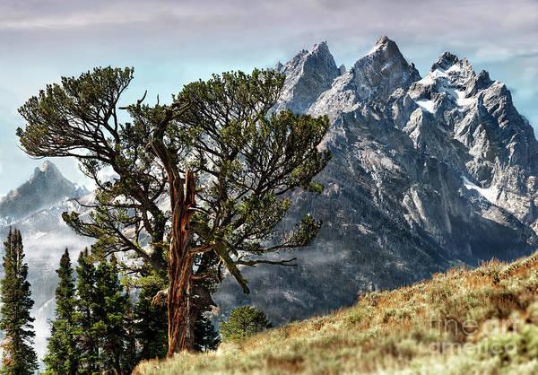 Patriarch Tree In Grand Teton National Park Art Print By Wildlife Fine Art