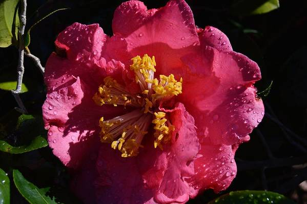Pink Camillia With Raindrops Art Print featuring the photograph Pink Camillia With Raindrops by Warren Thompson