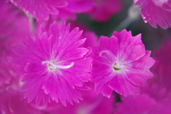 Flowers Art Print featuring the photograph Pink Flower Closeup by Lisa Gabrius