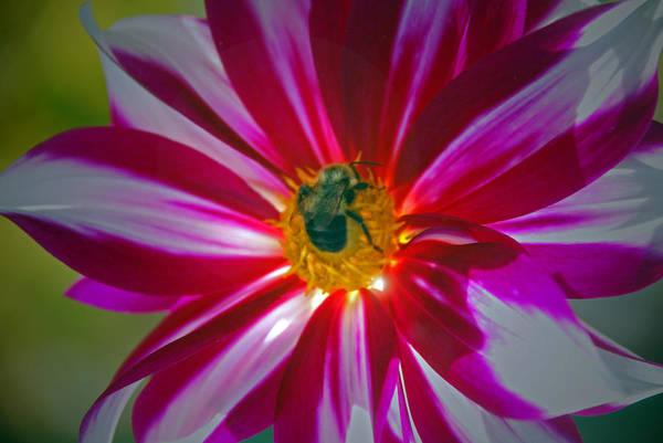 Bee Art Print featuring the photograph Pollenator by Mark Wiley