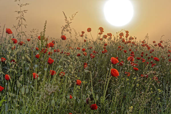 Agriculture Art Print featuring the photograph Poppy Field In The Morning by Adrian Bud